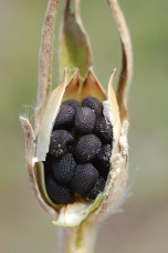 Agrostemma githago semințe.jpg